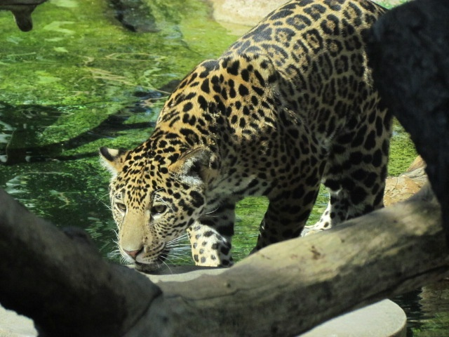 """Jaguar Mama says, """"My babies only eat cagefree chicken"""
