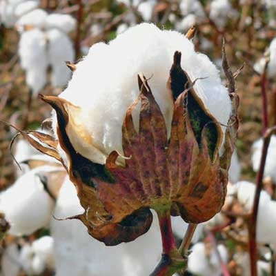 raw cotton.: Cotton Bolle, Cotton Reminder, Growing Cotton, Open Bolle, Southern Thang, Southern Gal, Cotton Alabama Snow, Raw Cotton, Cotton Fields