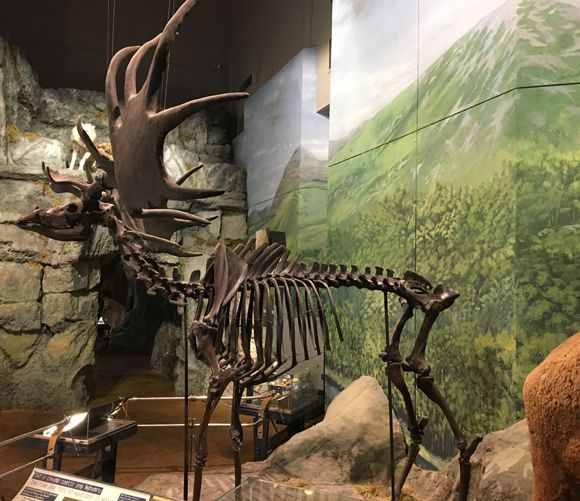 Wolves Two Megaloceros One Visiting The Evolution Of Wales Exhibit At The National Museum Cardiff Prehistoric Animals Dinosaur Discovery Fossils