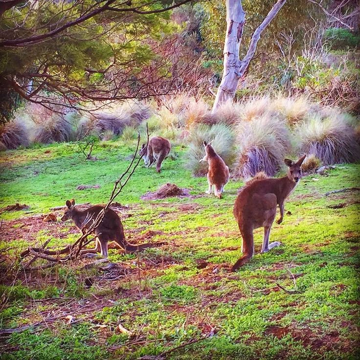 #Repost @tbag_16  I love Australia  The Roos were out in force yesterday. Dusk is the best time to catch them grazing  #dormantvolcano #naturelovers #roos #instanature #nature #australia #travel @destinationwarrnambool #kangaroos #towerhillreserve #grazing #food #wanderaustralia #australiagram #australianwildlife #wildlife #animals #animalsofinstagram #instaanimal #instaaussie #loveit #eveningwalk #walking #exploring #eating #feedingtime #dusk by destinationwarrnambool