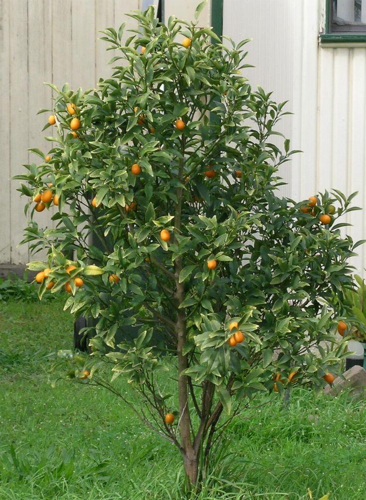 Fortunella cumquats or kumquats 12 39 high by 6 39 wide for Plante kumquat