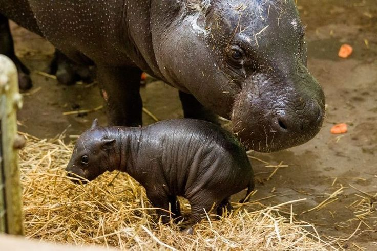 Three week old pygmy hippo and her mom