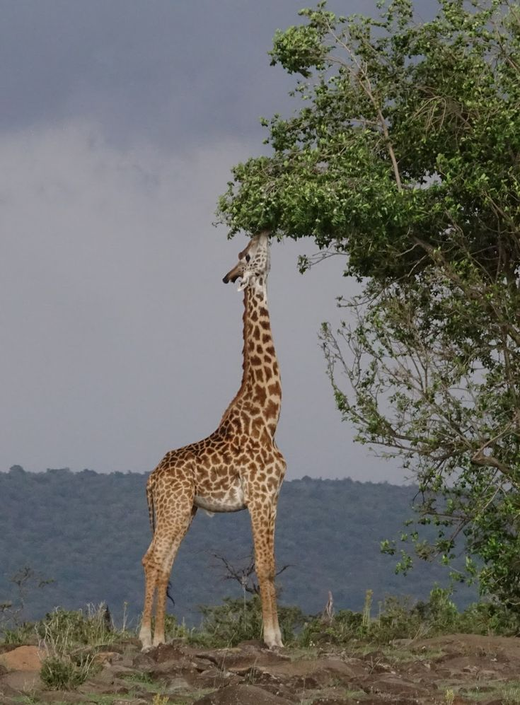 Picture of a giraffe eating from a tree.