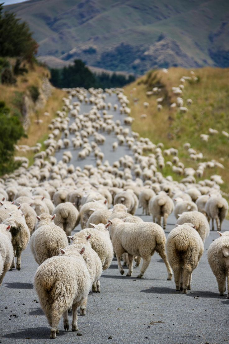 Traffic jam by Mathieu Savaria In New Zealand, there are more sheep than people. Hence, traffic jams are most likely not caused by cars...