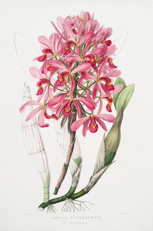 Lælia superbiens. [Gorgeous lælia]-    Creator  : Bateman, Jas. (James), 1811-1897  -- Illustrator