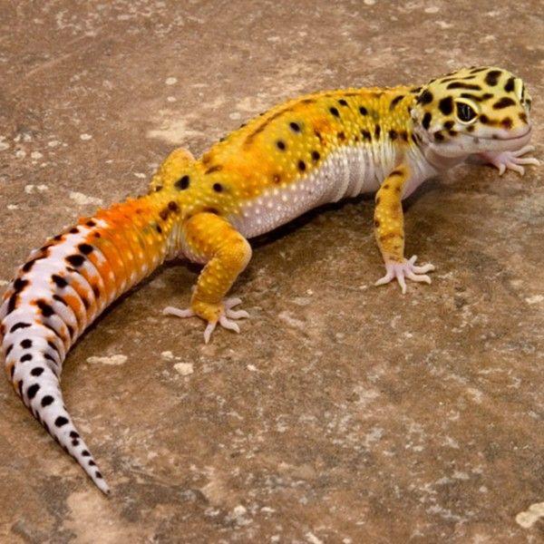 Eublepharis macularius - Gecko leopardo