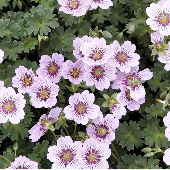 Geranium Plant - cinereum Rothbury Gem