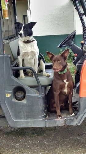 Kelpie/Border Collie Puppies for Sale - For more informationc click on the image or see ad # 44907 on www.RanchWorldAds.com