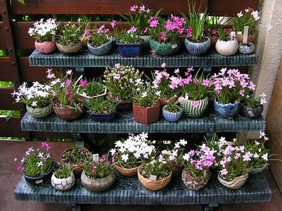 rhodohypoxis - Google Search