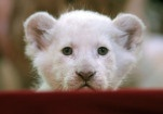 Darmstadt, Germany – A white lion cub at Circus Krone in Darmstadt.   The Week in Pictures | May 20 – 26, 2013 - Framework - Photos and Video - Visual Storytelling from the Los Angeles Times