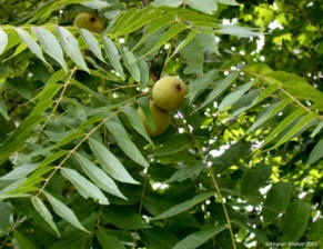 Black Walnut:  The leaves have been used to make a soothing skin and eye wash, powder from green hulls is anti-parasitic, the bark is astringent and was chewed for toothaches. Use poultice of green hulls for ringworm. Inner bark used as a laxative. Do not use internally during pregnancy.