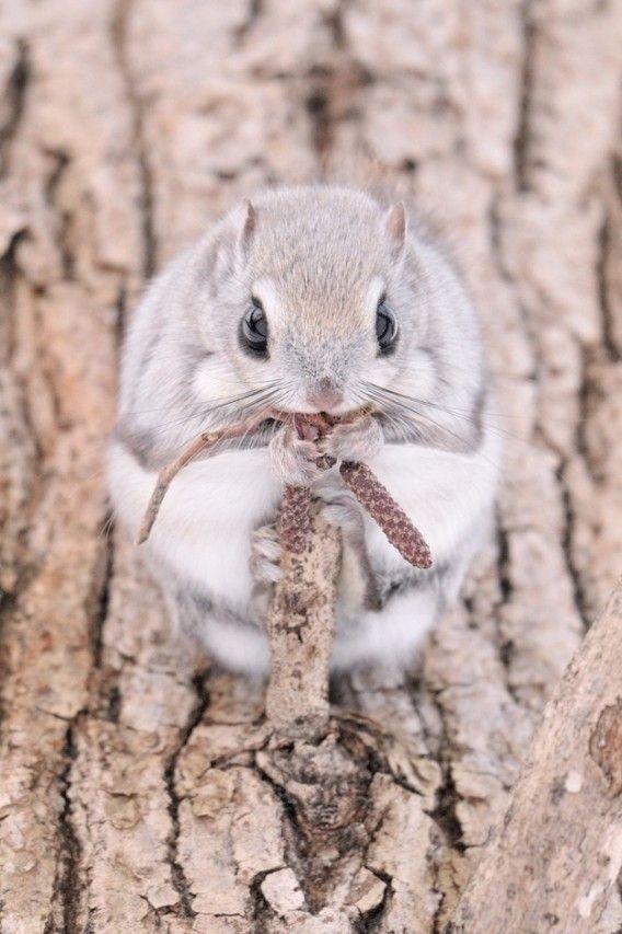 Russian flying squirrel、エゾモモンガ