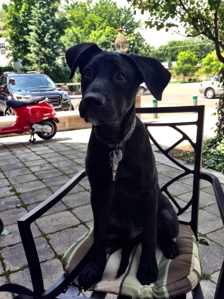 Labradane puppy Duke 4 months old, Black lab great dane mix