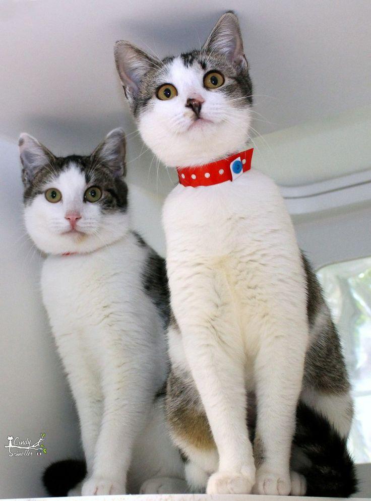 Adopt QuincyPippa on Petfinder Adoption, Animals, Cat