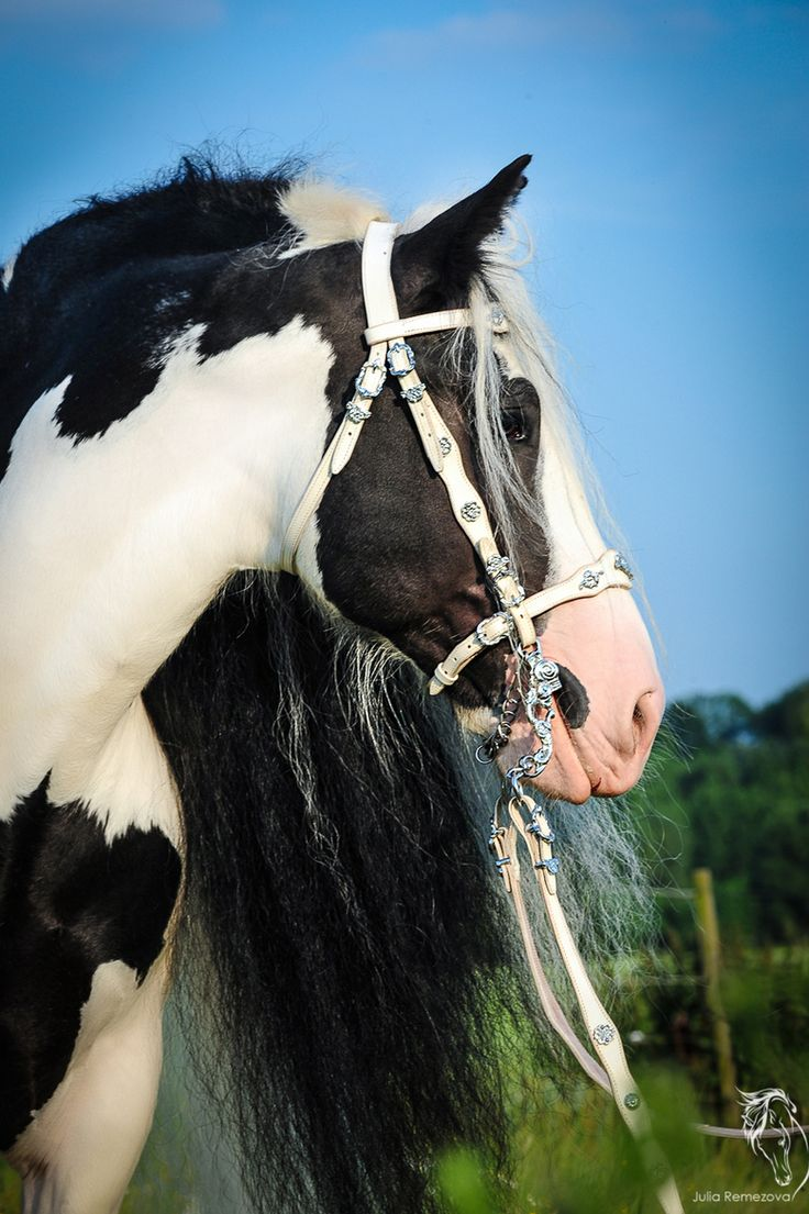 Tinker horse - Crins de Soie, Belguim - Sean OG