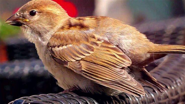 KID NORKJEN The little Sparrow