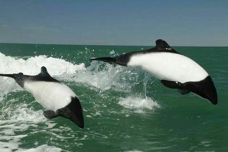 Tonina Overa. Mares circundantes a las Islas Malvinas, Argentina