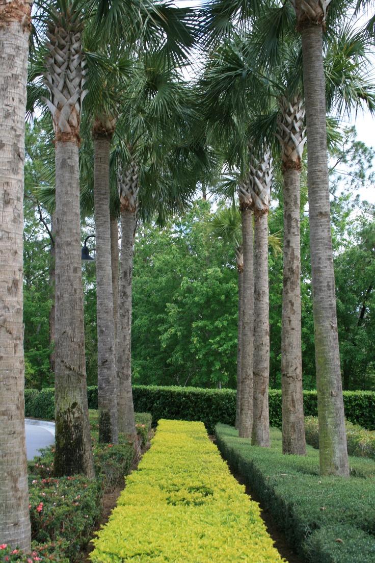 Sabal Palm Trees Native To Florida Street Trees Palm