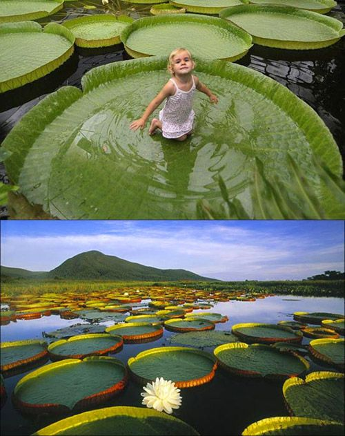 Victoria Amazonica, the plant that can support up to 40 kg.