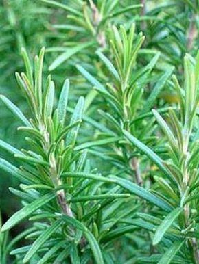 Выращивание пряных трав на огороде дачи: фото, названия и описания