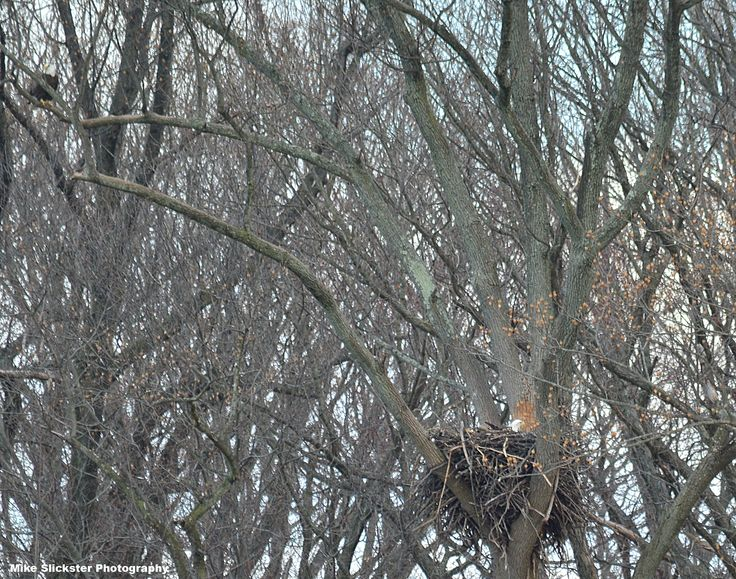 Lake Luxembourg bald eagles; the male is up on a branch to the left. The female is in the nest, incubating evidently.
