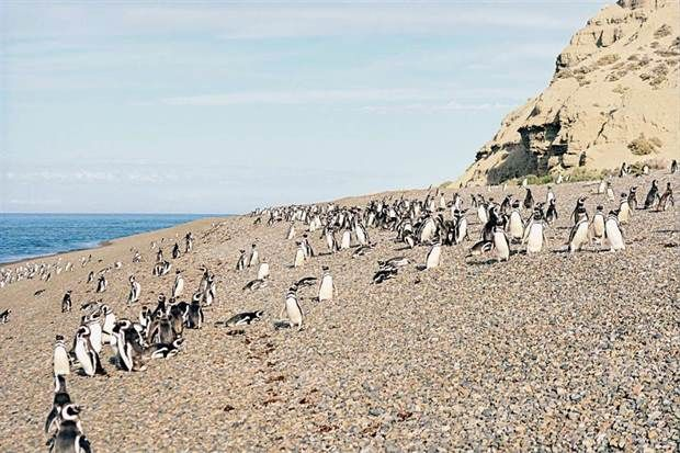 Experiencing the exciting encounter with penguins, almost in private, is now possible! El Pedral, just 70km from Puerto Madryn, houses a colony of 5,000 penguins, and is quite uncrowded yet. Contact us to plan your journey towards the natural beauties of Patagonia! #acrossargentina #travel #nature #penguins #adventure #familytravel #beautifulplaces #patagonia #puertomadryn #argentina #southamerica