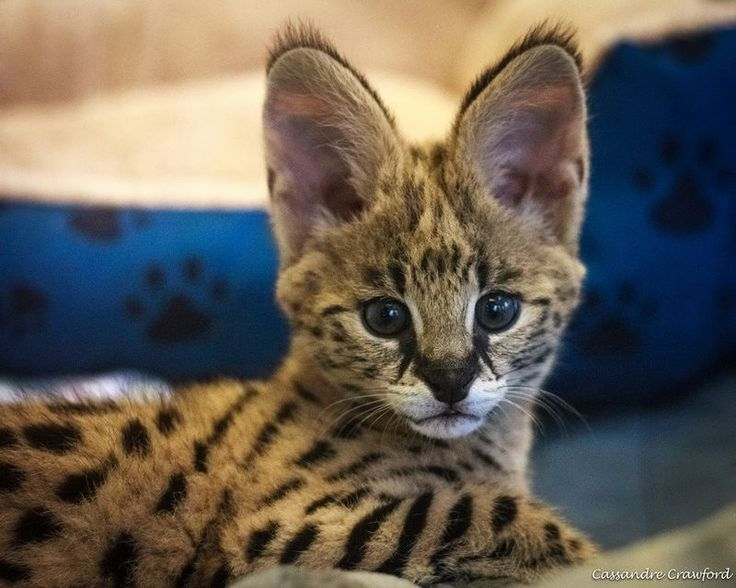 Serval Kitten 'Jumps Right In' at Cincinnati Zoo