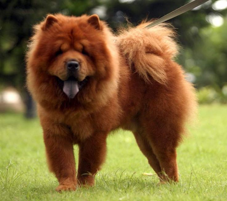Brown Chow Chow Showing His Tongue Puppies Wallpaper