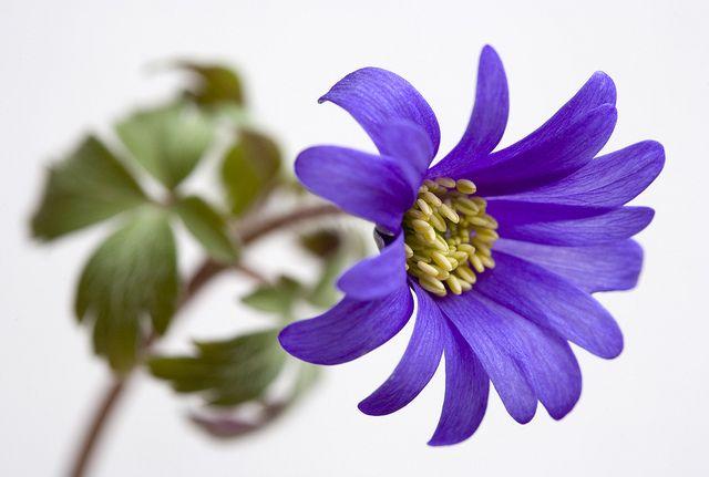 Blanda | Anemone blanda, in the garden. | Brian Haslam | Flickr