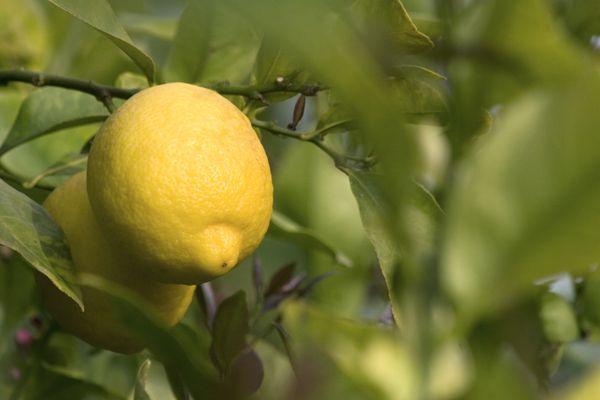 Il limone è simbolo del clima mediterraneo ma le sue origini sono altre e non del tutto certe, è molto probabile che provenga dalla Cina o dall'India