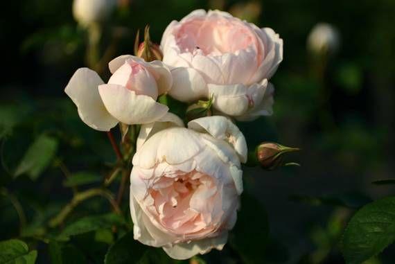 mit ihren filigranen rosa bl ten ist die englische rose gentle hermione eine bezaubernde. Black Bedroom Furniture Sets. Home Design Ideas