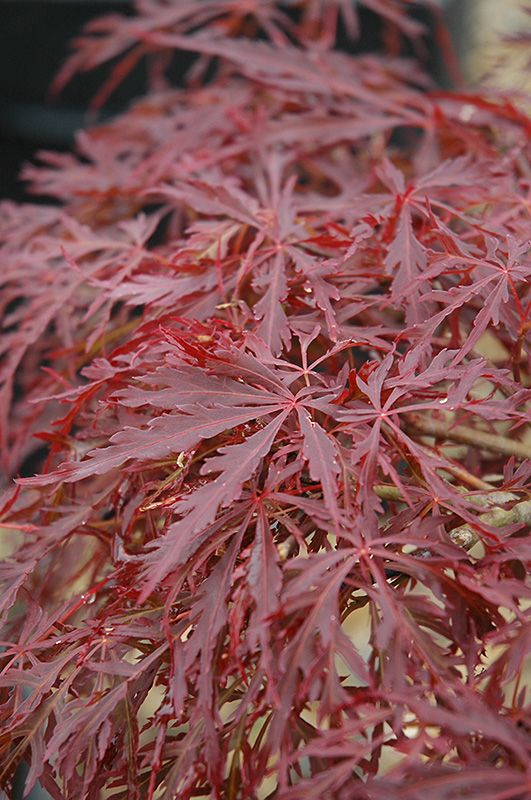 click to view fullsize photo of red dragon japanese maple acer palmatum u0027