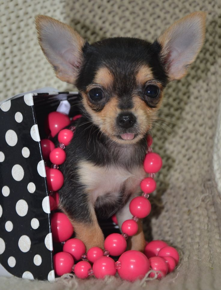 Cute Chihuahua Puppies For Sale In Arkansas USA