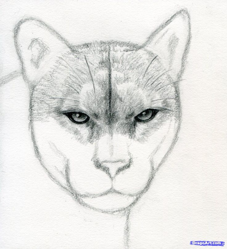 How to Draw a Realistic Puma, Mountain Lion, Step by Step