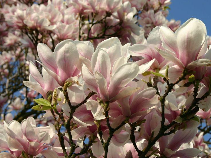 Tulpenmagnolie - Magnolia soulangiana