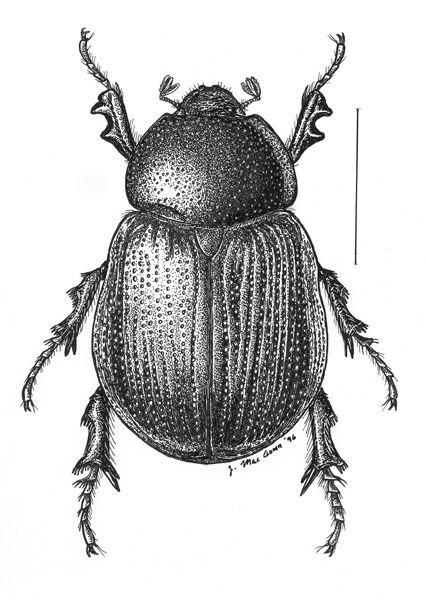 Aphonus.castaneus.jpg (426×600)