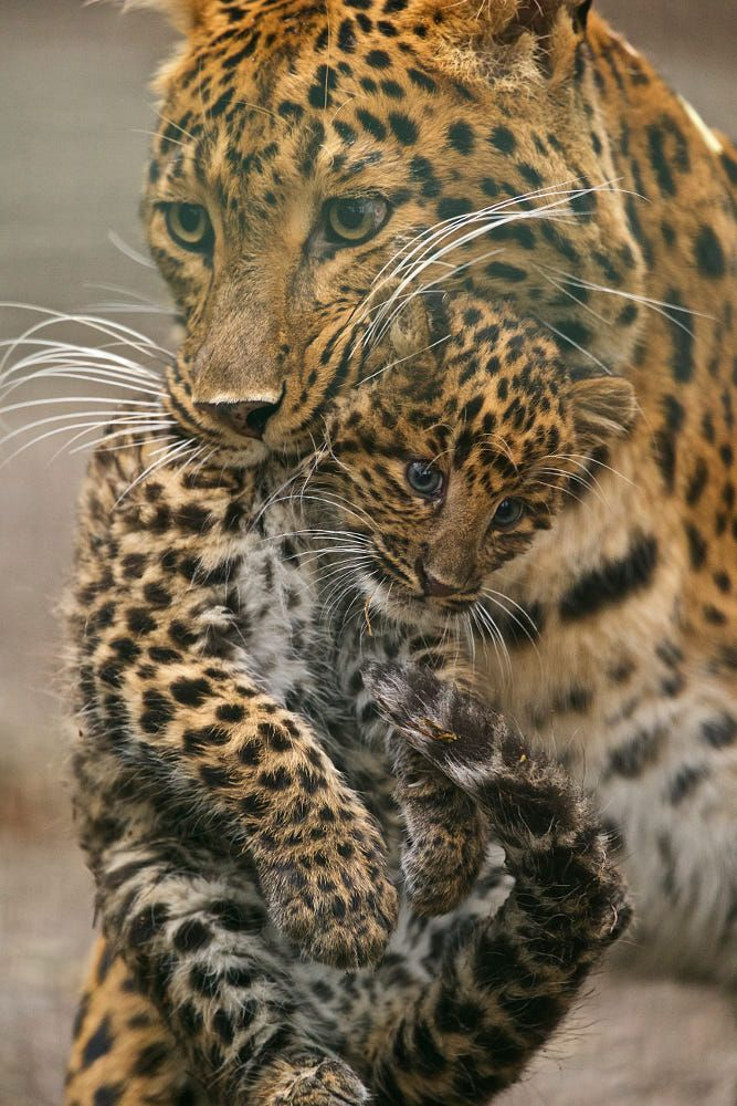 Leopard with Baby by Thomas Blümel on 500px