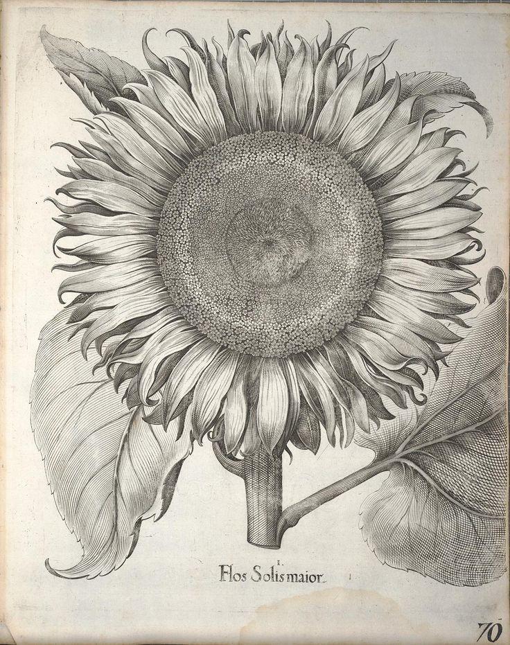 Flor Solis maior. Hortus Eystettensis, sive, Diligens et accurata omnium plantarum, florum, stirpium  [Nürnberg? :s.n.],1640.  Biodiversitylibrary. Biodivlibrary. BHL. Biodiversity Heritage Library