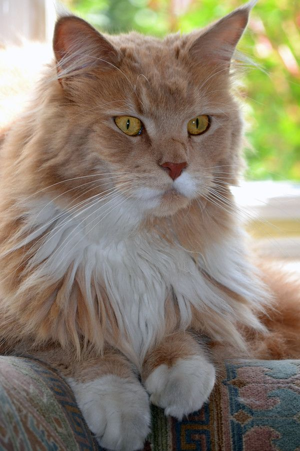 I wonder... - main coon watching with interest from the window sill by Jane Mullane