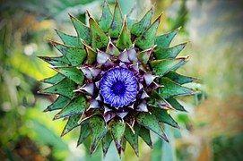 Thistle, Symbol, Scotland, Flowering