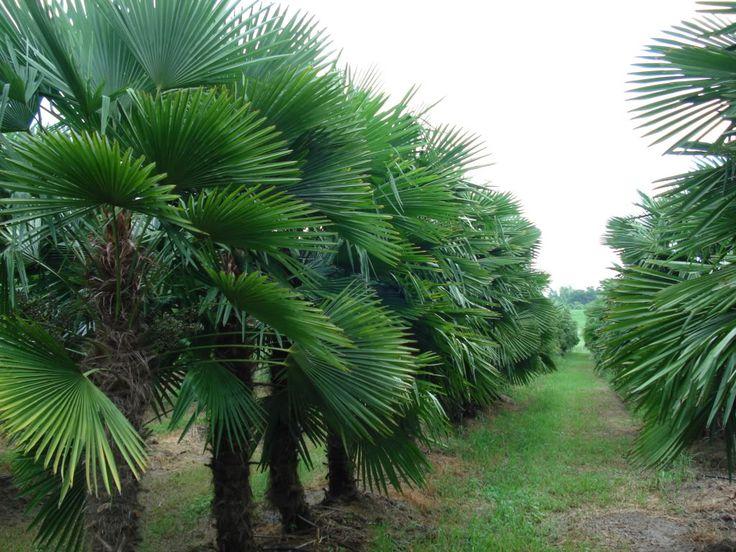 California Palm Trees - California Southern California Palm Trees Drought Tolerant Cali Palms RealPalmTrees.com & 93 best California Palm Trees images on Pinterest | California ...