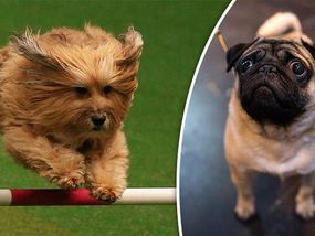 DOG lovers are looking forward to seeing who comes on top in the Best in Show contest at Crufts 2017 later. Here is the latest list of the winners so far.
