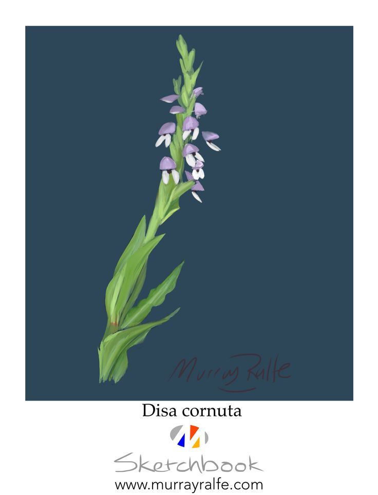 """Disa cornuta"" sketched on iPad at Spitskop near Knysna. By Murray Ralfe www.murrayralfe.com"
