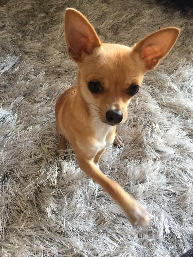 Pin By Sherri On Chihuahua Chihuahua Chihuahua Dogs Cute Chihuahua