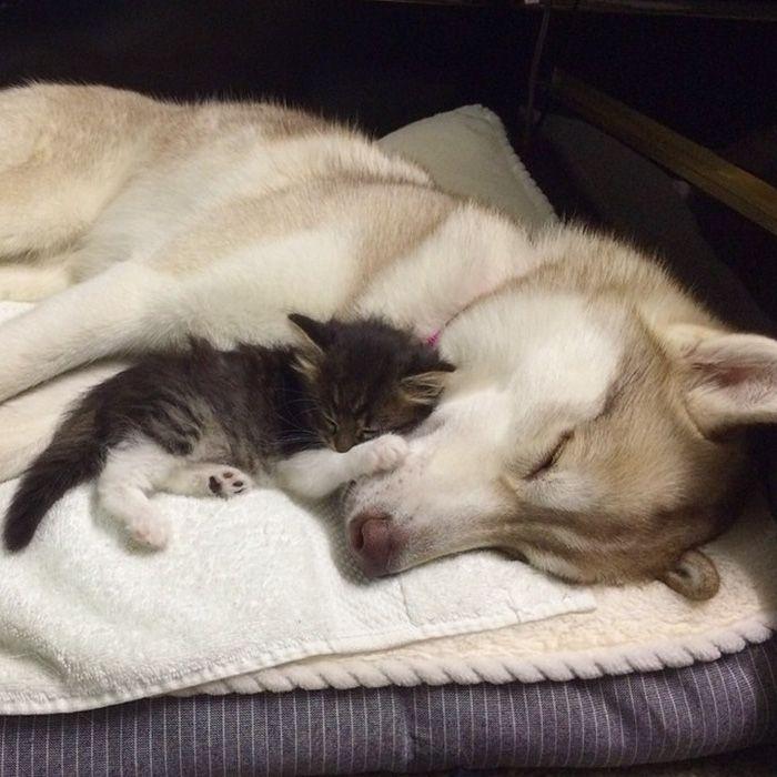 http://kajgana.com/sites/default/files/styles/gallery_medium_image_size/public/2016/01/20/161553/rosie-cat-grows-up-husky-mother-lilo-9.jpg?itok=fcsodUmJ