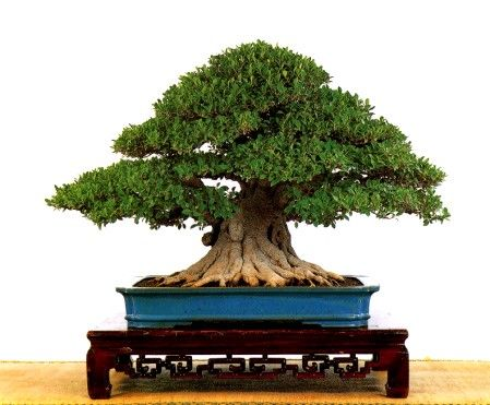 bonsai ficus: Bonsai Beauty, Bonsai Trees, Ficus Bonsai, Bonsai Inspiration, Wonderful Trees, Bonsai Beauties, Nests Trees, Bonsai Ficus Figtree T ͣD, Bonsái Trees
