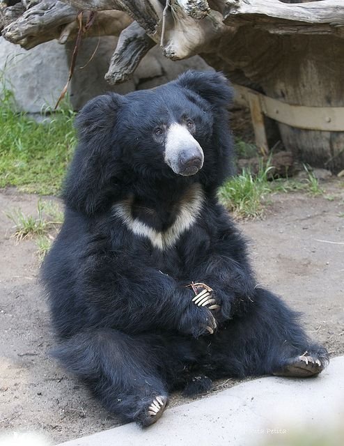 Dear Sloth Bear, will you come be my pet and I'll snuggle you and love you forever?