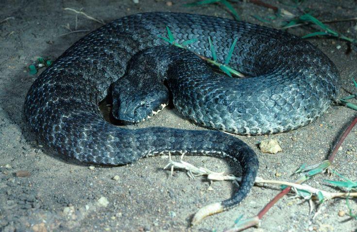 Víbora de la muerte, top de serpientes venenosas del mundo