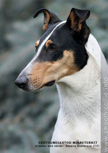 Smooth Collie dog with beautiful head