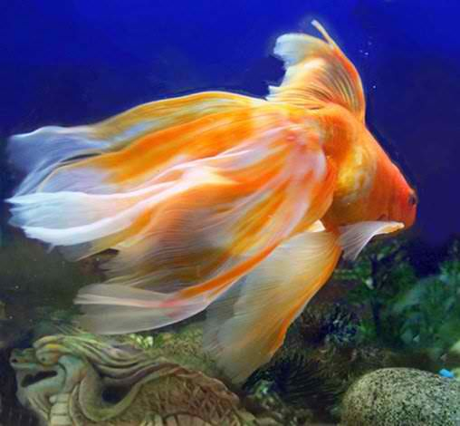 Veil tail goldfish